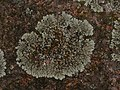 Protoparmeliopsis muralis 126290681.jpg