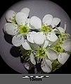 Prunus padus subsp. padus sl16.jpg