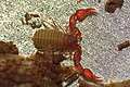 Pselaphochernes scorpioides (36550122806).jpg