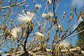 Pseudobombax ellipticum blanc JB Cienfuegos.jpg