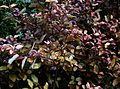 Pseudowintera colorata - Flickr - peganum (1).jpg