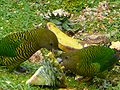 Psittacella brehmii -Kumul Lodge, Papua New Guinea-8.jpg