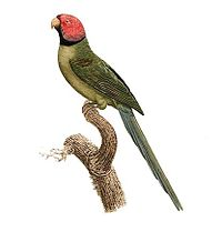 Psittacula roseata - Barraband