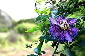 Passiflora edulis - Puchea, or Passion Fruit growing in El Sauce, Samaipata, Bolivia