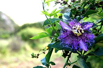 Passiflora edulis - P. edulis growing in Samaipata, Bolivia