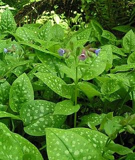 <i>Pulmonaria</i> Genus of flowering plants in the borage family Boraginaceae