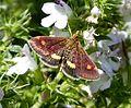 Pyrausta aurata - Flickr - gailhampshire (2).jpg