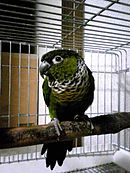 A green parrot with a black forehead, underside, and tail with a black-and-white collar
