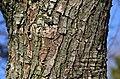 Pyrus calleryana var. fauriei (81-307-A) Trunk Bark.JPG