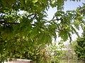 Quercus cerris 2a.jpg