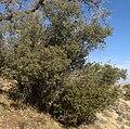 Quercus turbinella Sonoran Scrub Oak 002.jpg