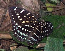 RN026 Adolias dirtea female.jpg