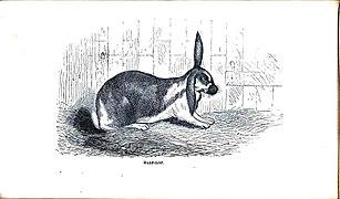 Lop rabbit - Wikipedia