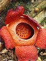 Rafflesia tuan-mudae mature (8058800728).jpg