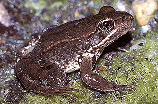 California red-legged frog species of amphibian