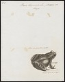 Rana temporaria - 1700-1880 - Print - Iconographia Zoologica - Special Collections University of Amsterdam - UBA01 IZ11400233.tif