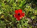 Ranunculus asiaticus002.jpg