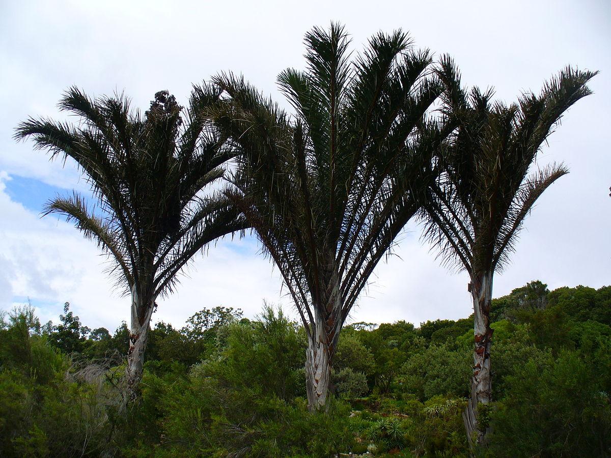 Raffia palm wikipedia for Plante palmier