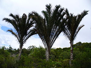 Raffia palm - Image: Raphia australis