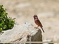 Red-Mantled Rosefinch (Carpodacus rhodochlamys) (34356243983).jpg