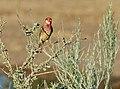 Red-billed Quelea (Quelea quelea) male ... (51093494416).jpg