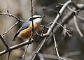 Red-breasted Nuthatch (Sitta canadensis)9.jpg