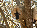Red-fronted Lemur in Madagascar.jpg