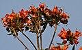 Red-vented Bulbul (Pycnonotus cafer) feeding on Spathodea campanulata W IMG 5748.jpg