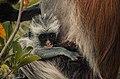 Red Colobus monkey,Zanzibar 3.jpg
