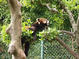 Sabae, Fukui - Image: Red Panda 01