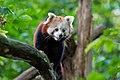 Red Panda (36831247423).jpg