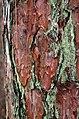Red Pine (15438210416).jpg