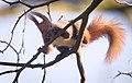 Red squirrel (32334355957).jpg
