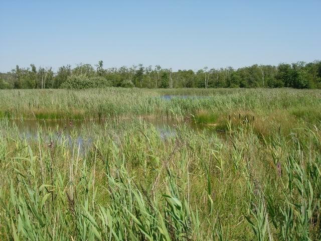 Reedbed at Chippenham Fen - geograph.org.uk - 554563