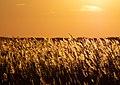 Reeds at Jones Beach at sunset (04913).jpg