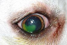 Scratch On Dog S Eyelid Compress