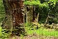 Reinhardswald im Mai.jpg