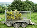 Removal of ragwort - geograph.org.uk - 924370.jpg