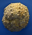 Rhabdocidaris Naturhistorisches Museum Basel 27102013.jpg