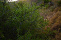 Rhamnus lycioides16.jpg