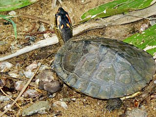 Spot-legged wood turtle species of reptile