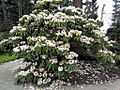 Rhododendron Plant (6905670602).jpg