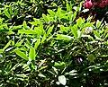 Rhododendron griffithianum 01.jpg