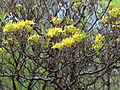 Rhododendron luteum-IMG 6682.JPG
