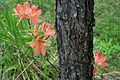 Rhododendron molle - Flickr - odako1 (6).jpg