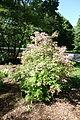 Rhododendron periclymenoides - Arnold Arboretum - DSC06625.JPG