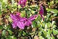Rhododendron saluenense subsp. chameunum.JPG