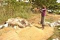 Rice processing in South East Nigeri6.jpg