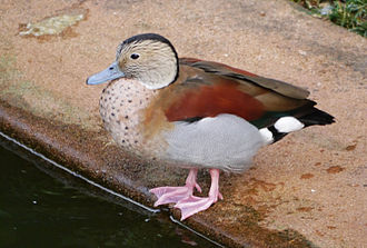 Kowloon Park - This ringed teal is among the numerous birds species in the park including swans, ducks, flamingoes, parrots and tropical pigeons.