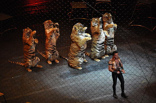 Ringling brothers over the top tiger